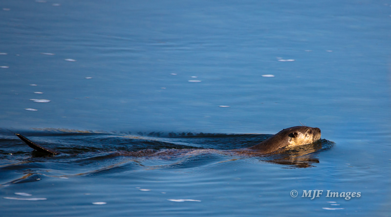 A river otter glides along the Snake River, Grand Teton National Park, Wyoming.