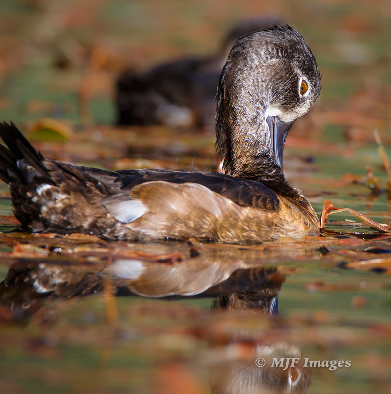 A duck does some early-morning grooming at Hosmer Lake, Oregon Cascade Range.
