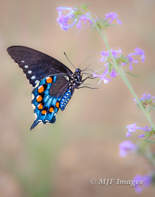 Although this butterfly is so beautiful it's tempting to fill the frame, stepping back to show the purple flowers it was alighting on results in an image that communicates more.