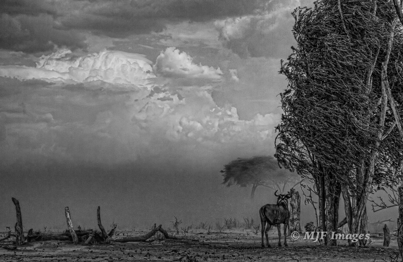I've never seen a more dramatic change of seasons than the one from hot & dry to the rains in Africa.  A lone wildebeest stands against the first thunderstorm of the season, sweeping dust ahead of it: Mbabe Depression, Botswana.