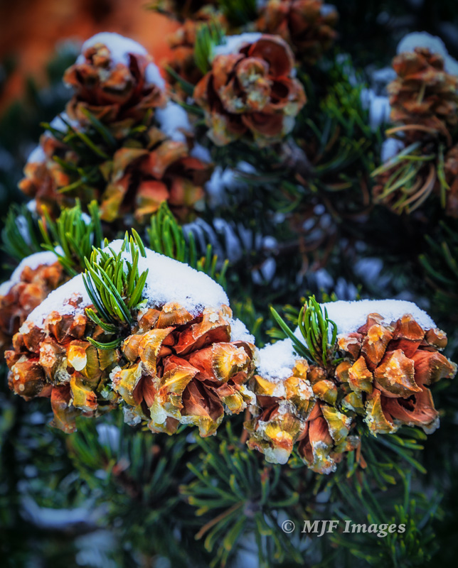 Pinyon pine cones catch little mounds of pristine snow in southern Utah.