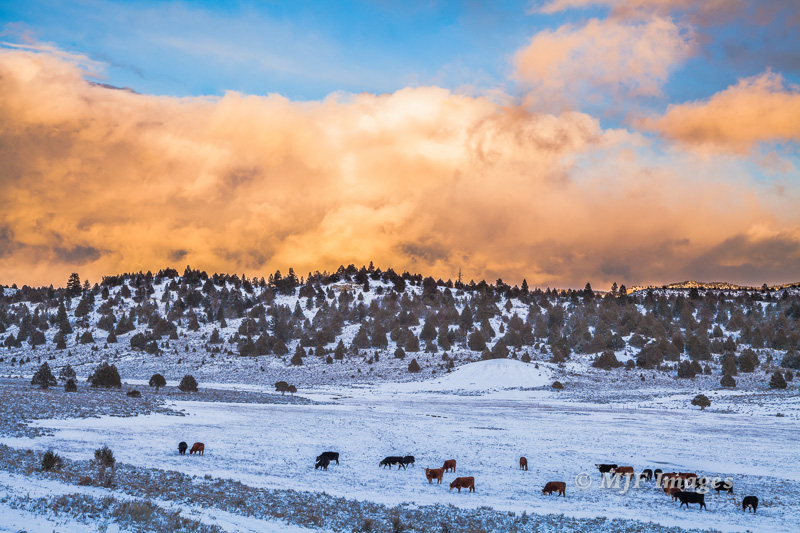 Cows seem to handle snow and cold without complaining:  Long Valley, Utah.