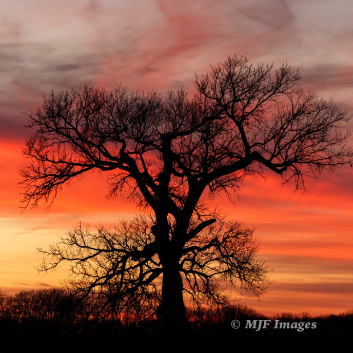 A tree with light on the Oklahoma prairies. Because it's in silhouette, the light & color behind it can be almost as fine as it wants to be.