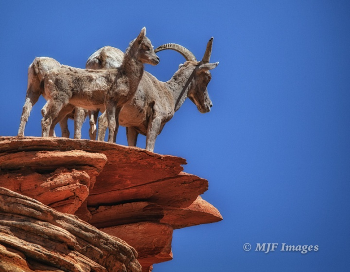 A family of bighorn sheep survey their realm in East Zion.