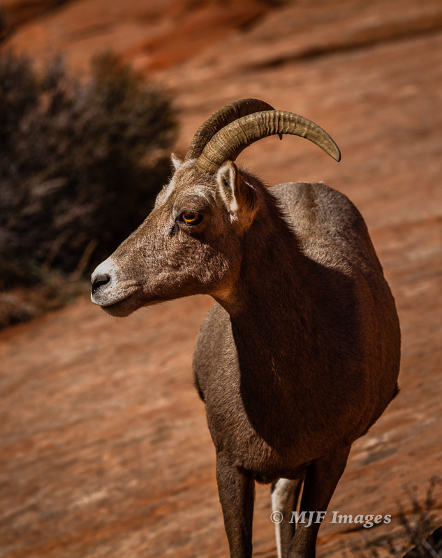 Desert bighorn sheep prefer the higher country at Zion.