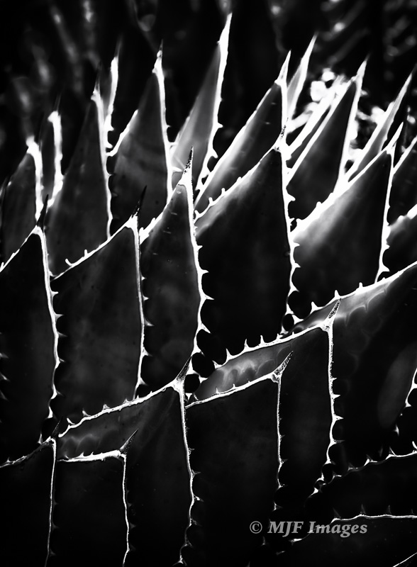 Agave in Mexico is backlit by a setting sun.