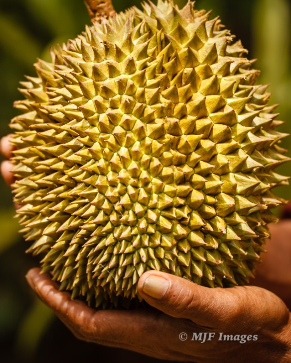 How much more objective could I be about this ripe durian presented me by the grower on Flores.