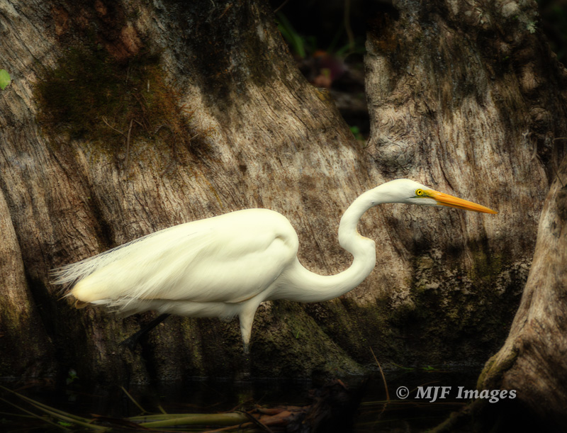 This great egret hunting breakfast I photographed and edited in a way to capture the quiet, dimly lit and closed-feeling atmosphere of Big Cypress Preserve, Florida.