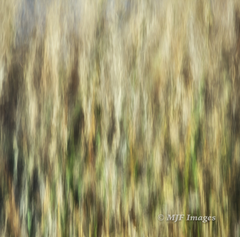 Abstract of the reeds reflecting in Saratoga Springs, home of those cute pupfish!