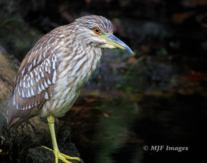 From the same morning, a more objective take on a black-crowned night heron who survived an encounter with an alligator.