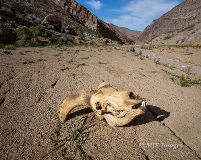I found this bighorn sheep skull far up a canyon in Death Valley. It sits on a blanket of mud and debris brought down in the flash floods that struck during heavy storms last fall.