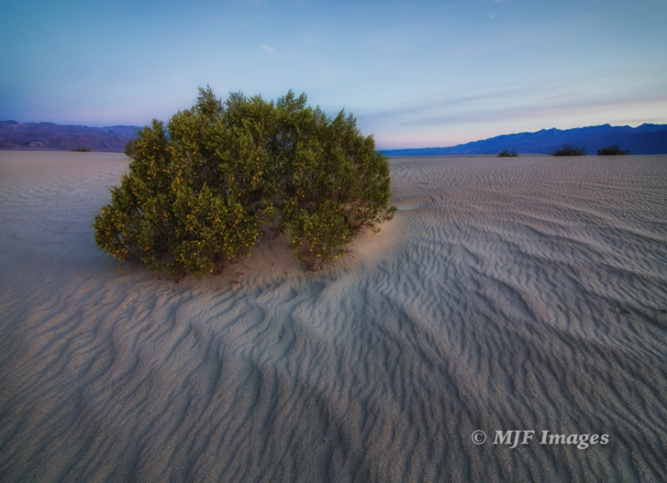 A blooming creosote bush at dawn in the sand dunes at Death Valley.