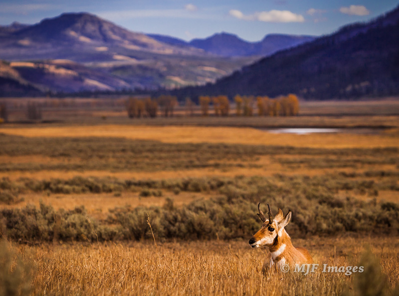 A pronghorn rests in wildlife-rich Lamar River Valley.