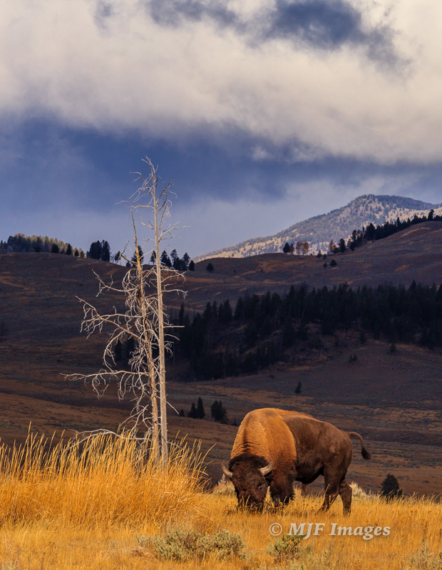 A bison grazes the late autumn grasses at Yellowstone.