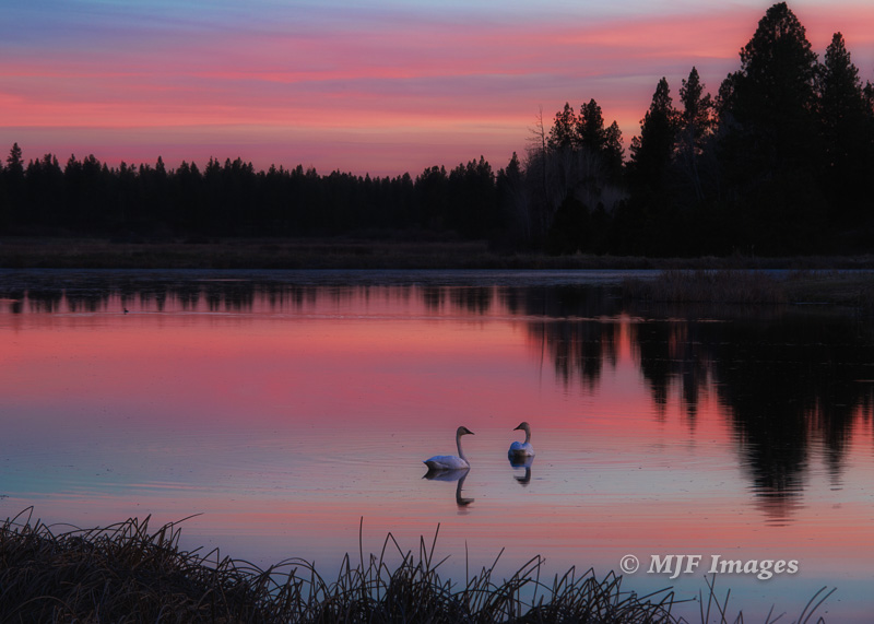 The other evening in northern Washington's Turnbull Wildlife Refuge, a mated pair of trumpeter swans drifts off into the sunset.