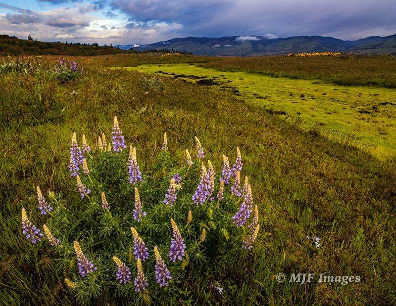 Lupine in bloom this past week at Rowena Crest in Oregon.  Shot with my 21 mm. Zeiss, a sharp lens but the modestly wide angle limits depth of field.