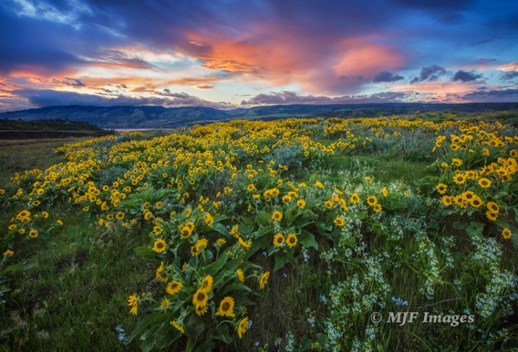 Rowena Crest, Oregon, sunrise the other morning.  I focused right on the nearest flowers but the wind kept them from being very sharp.  16 mm., 1/20 sec. @ f/13, ISO 200.