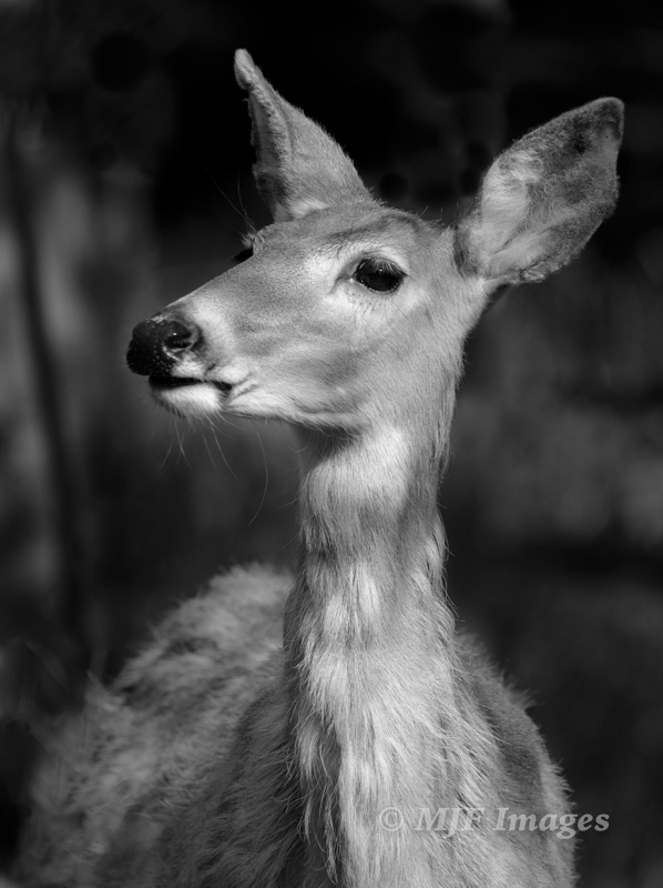 I love the soft texture of this white-tail doe's fur in B&W. From Glacier N.P., Montana. 600 mm., 1/2000 sec. @ f/8, ISO 640; hand-held; processed in LR.