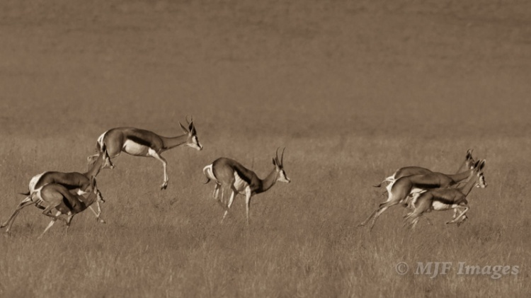 "Springbok ""pronk"" through the grasslands of Namibia. 400 mm., 1/1000 sec. @ f/8, ISO 200; hand-held; converted w/cream tone in LR."