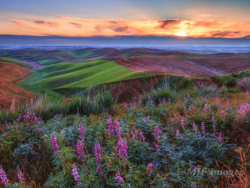 Lupines greet sunrise over the Palouse of eastern Washington.  I visualized putting the purple wildflowers together with the area's characteristic verdant green.