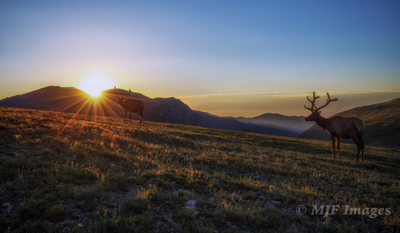 For these two elk this morning, I got low to set them against the rising sun.
