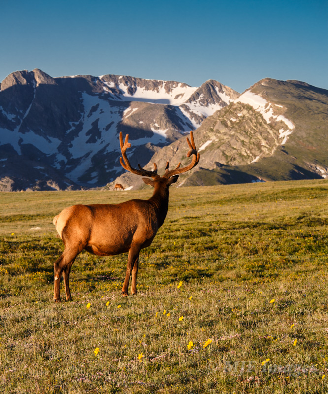 An image whose point of view is of another creature's point of view (note what the elk is looking at).