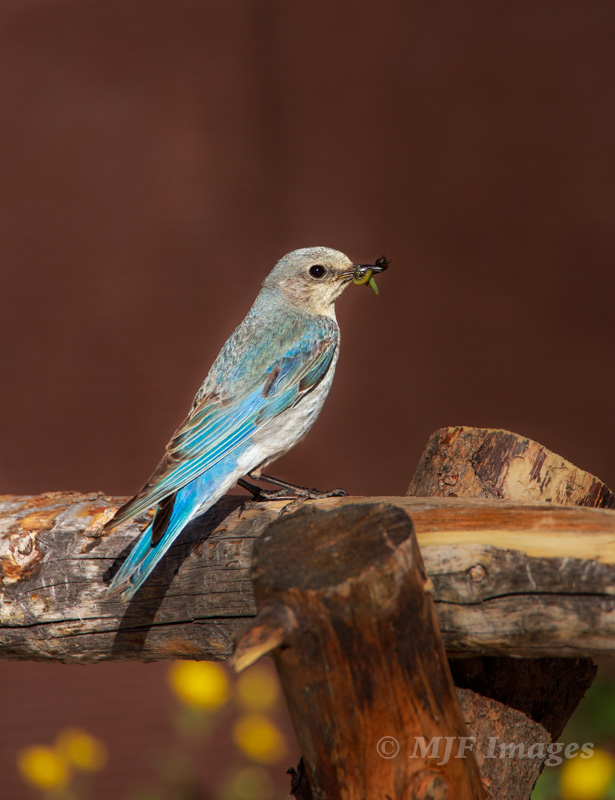 Last post I showed the male mountain bluebird. Here is his mate near the nest at 11,800 feet elevation in Colorado.