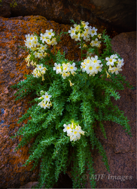 Flowers grow on a lichen-covered rock outcrop at 11,000 feet in Rocky Mtn. National Park, Colorado.