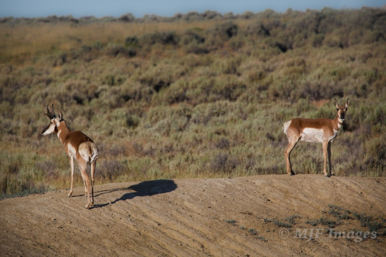 A mated pair of pronghorn (which are not true antelope) in Wyoming well outside of any NP.