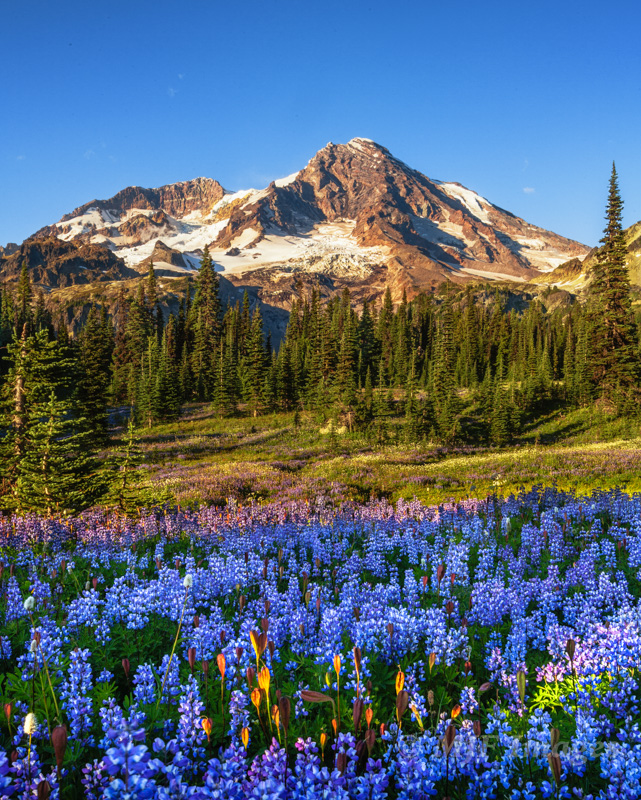 The subalpine flower meadows of Mt. Rainier, Washington are a place where you should be careful where you step.