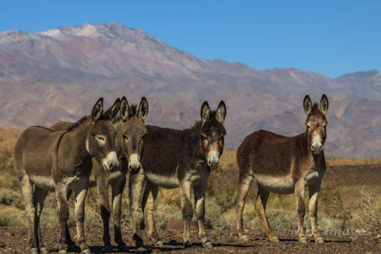 If Death Valley gets busy you can always head over to adjacent Panamint Valley, a great place to look for feral burros.