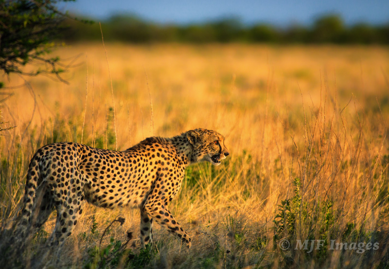 I was rushing to a waterhole where the game was supposed to be when I stumbled upon this cheetah stalking the grasslands: Etosha, Namibia.
