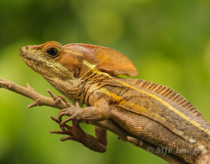 This brown basilisk in a Guatemalan forest almost escaped my attention.