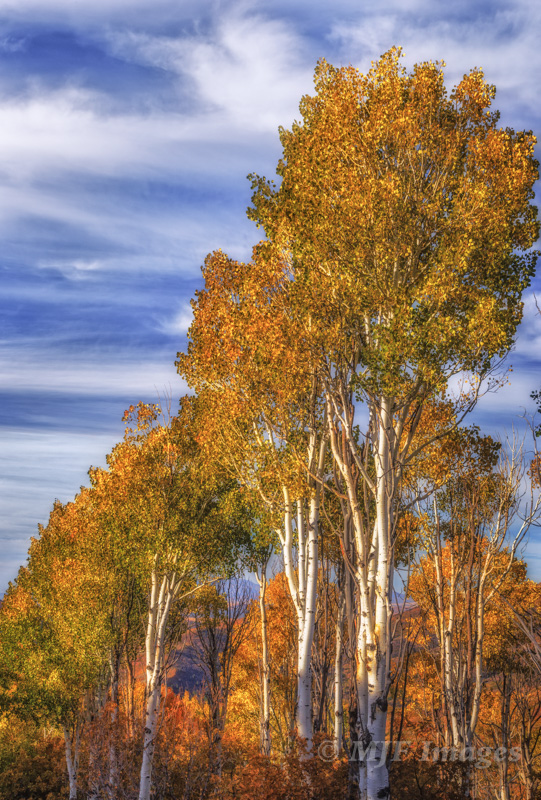 Quaking aspen, Wasatch Mountains, Utah.