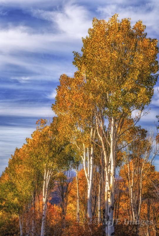 Quaking aspen, Wasatch Mountains, Utah.