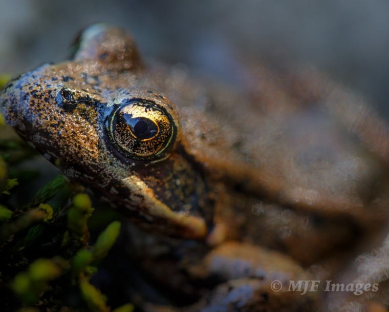 After a few shots of this frog's whole body, I moved in closer and closer until I got a shot that empasized his watchful eye.